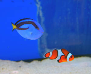 "Two fish resembling the characters from the film ""Finding Nemo"""